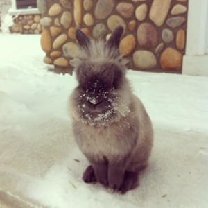 Lionel the Lionhead Bunny