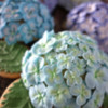 Hydrangea: Cookies and Photos by Ryoko ~Cookie Ave.