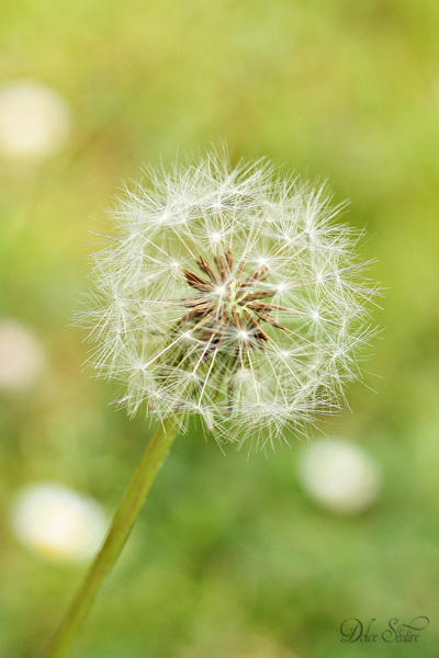A beautiful Dandelion: