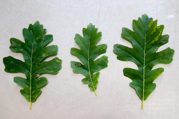 real leaves