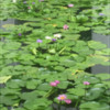 Water Lily Pond in Bangkok: Photos by Manu