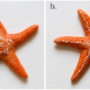 Steps 3a and 3b - Pipe Dots on Sea Star Body and Along Arms: Photos by Aproned Artist