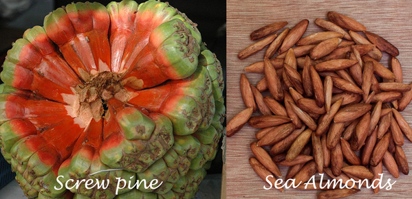 Screw pine fruit and Sea Almonds