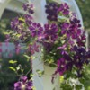 Clematis on Julia's Arbor: Flowers and Photo by Julia M Usher
